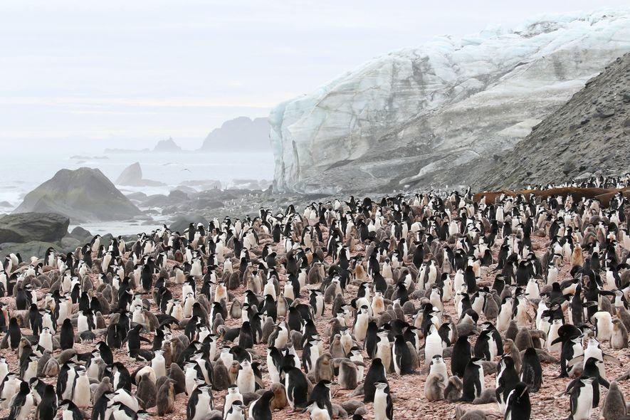 Uma colónia de pinguins-de-barbicha reunida na costa sul da Ilha Elefante. Por enquanto, esta é a ...