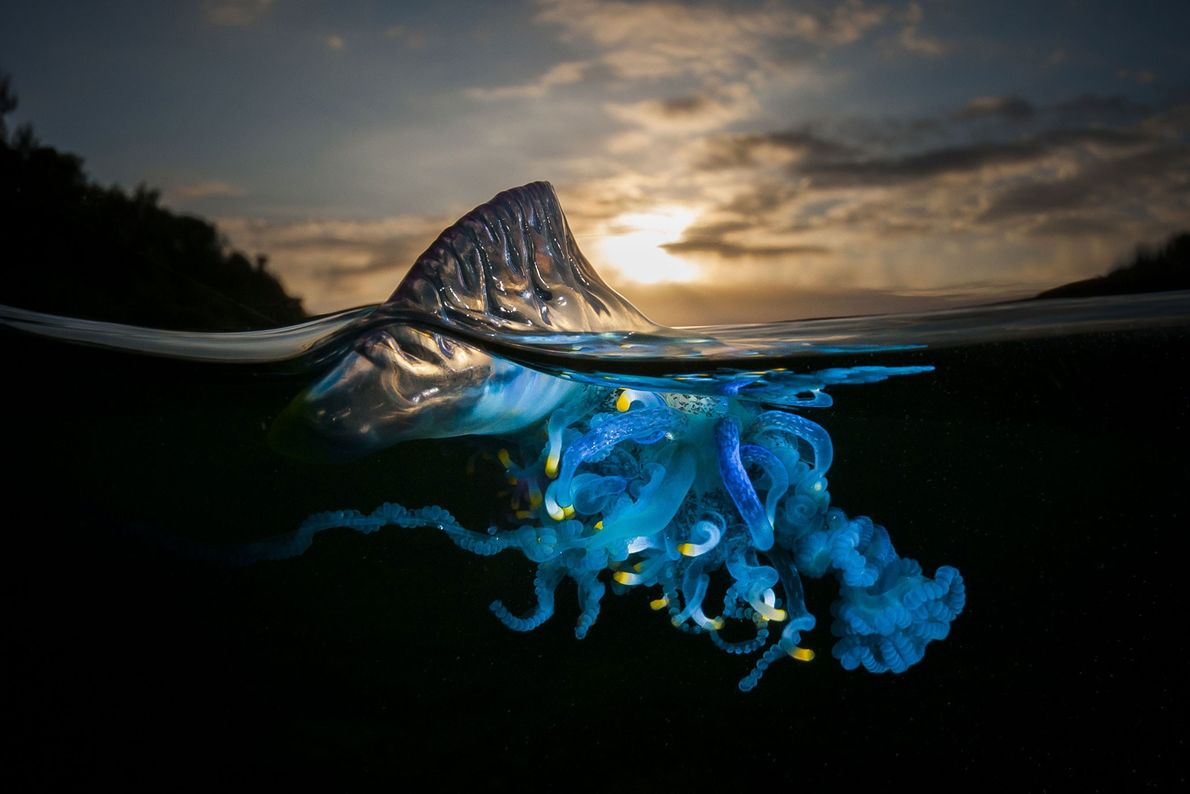 Caravela-portuguesa. Shell Cove, Nova Gales do Sul, Austrália.