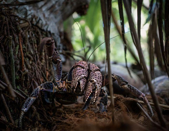 Um caranguejo-dos-coqueiros na ilha Nikumaroro.
