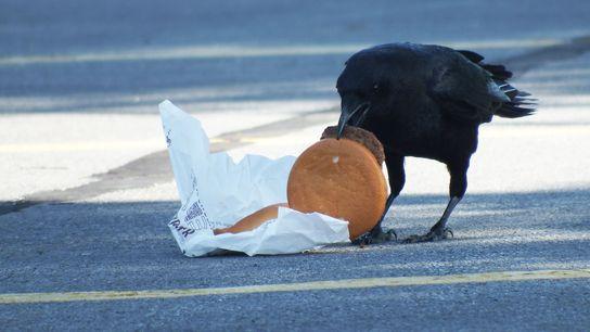 Cientistas alimentaram corvos com cheeseburgers para observar a forma como os restos de comida deixados pelos ...