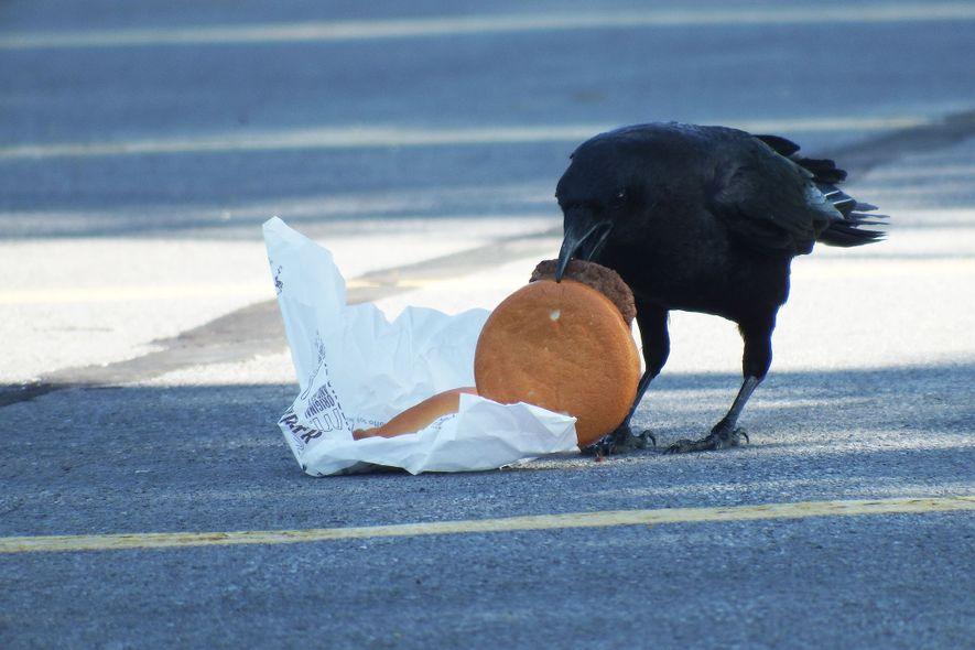 Cientistas alimentaram corvos com cheeseburgers para observar a forma como os restos de comida deixados pelos humanos podem afetar a sobrevivências das aves.