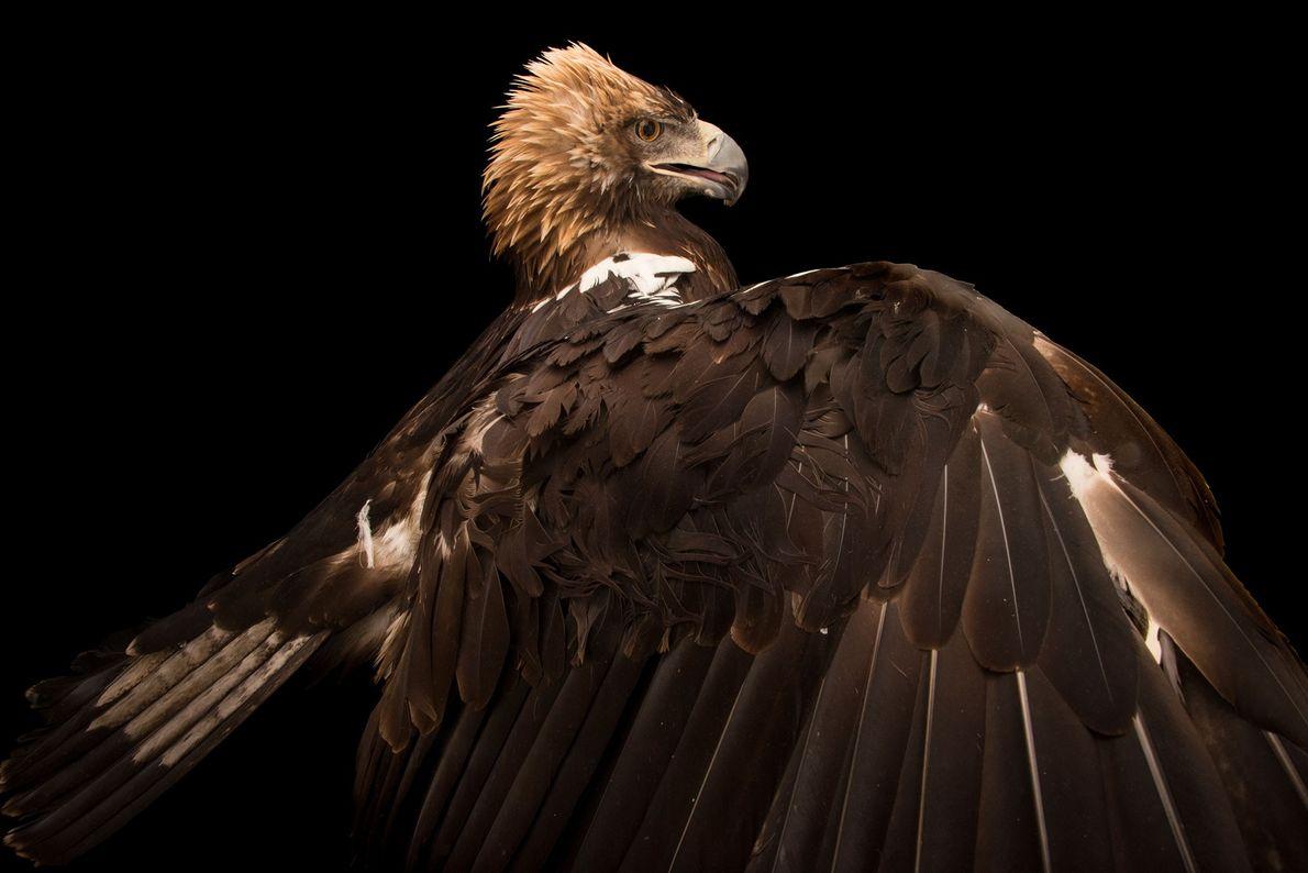 Espécies de águias - águia-imperial espanhola