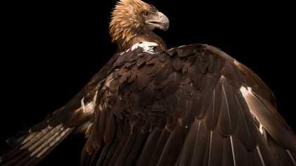 Imagens de Águias Surpreendentes Que Provavelmente Não Conhece