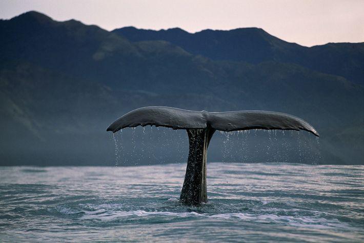 Os cachalotes (como este fotografado na Nova Zelândia) podem ser identificados através de pequenas diferenças no ...