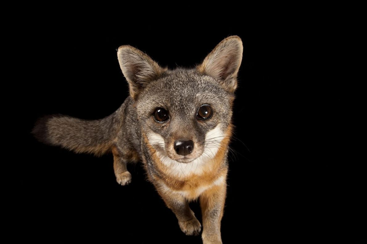 Uma rara raposa-das-ilhas (Urocyon littoralis catalinae), na Catalina Island Conservancy
