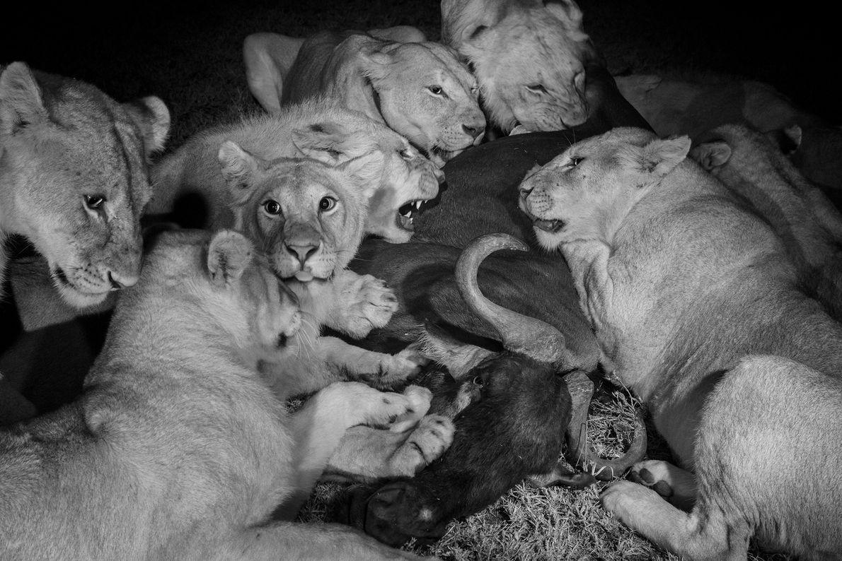 As fêmeas adultas e as crias do grupo Vumbi deleitam-se com um gnu, no Parque Nacional ...