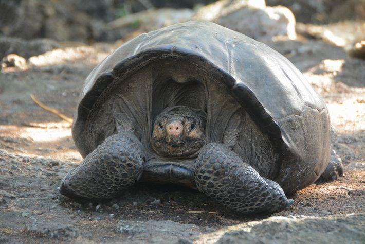 tartarugas-gigantes podem viver até aos 200 anos