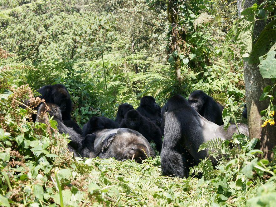 Gorilas-de-grauer reunidos à volta de um corpo de um macho desconhecido, no Parque Nacional de Kahuzi-Biega. ...