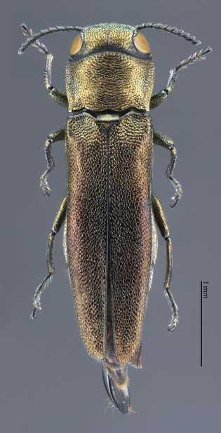 Besouro desconhecido da ciência encontrado no Cemitério Green-Wood.