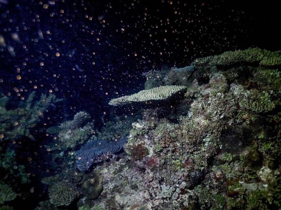 Corais Na Grande Barreira Lutam Para Recuperar