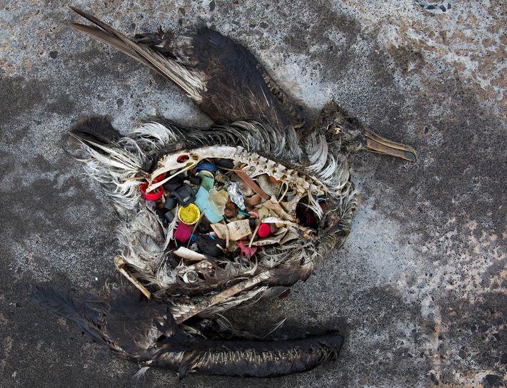 albatroz morto