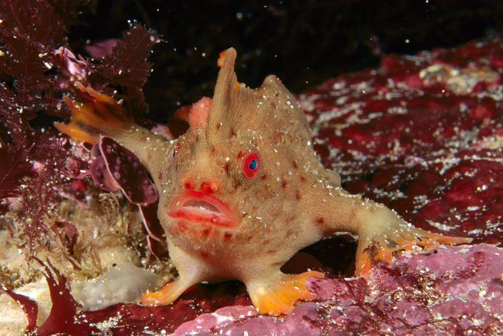 """Como acontece com os outros peixes-mãos, o peixe-mão-vermelho tem barbatanas peitorais modificadas que lhe permitem """"caminhar"""" ..."""