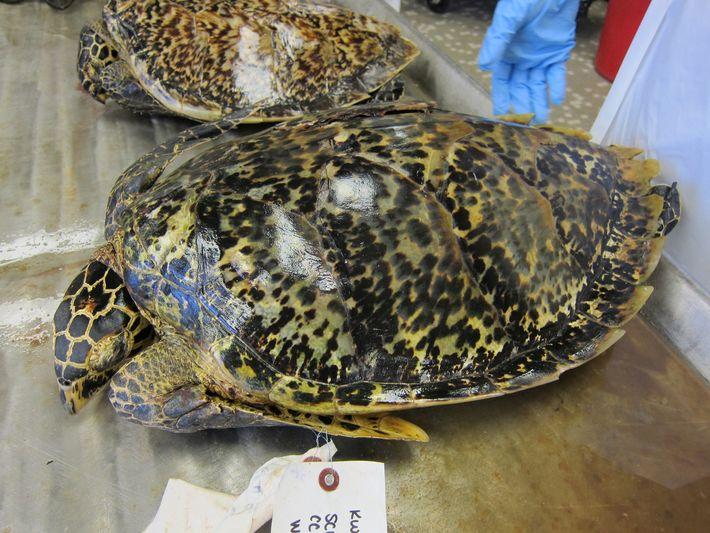 tartarugas-de-pente