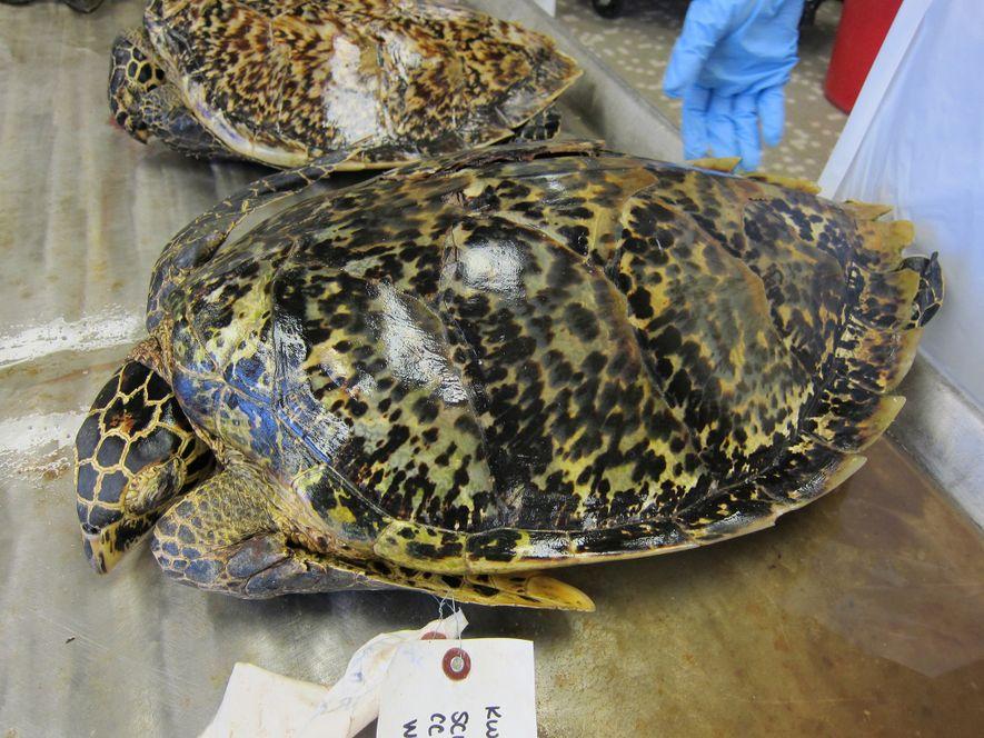 As tartarugas-de-pente têm sido caçadas pelas suas carapaças há séculos. Apesar da espécie estar interdita ao ...