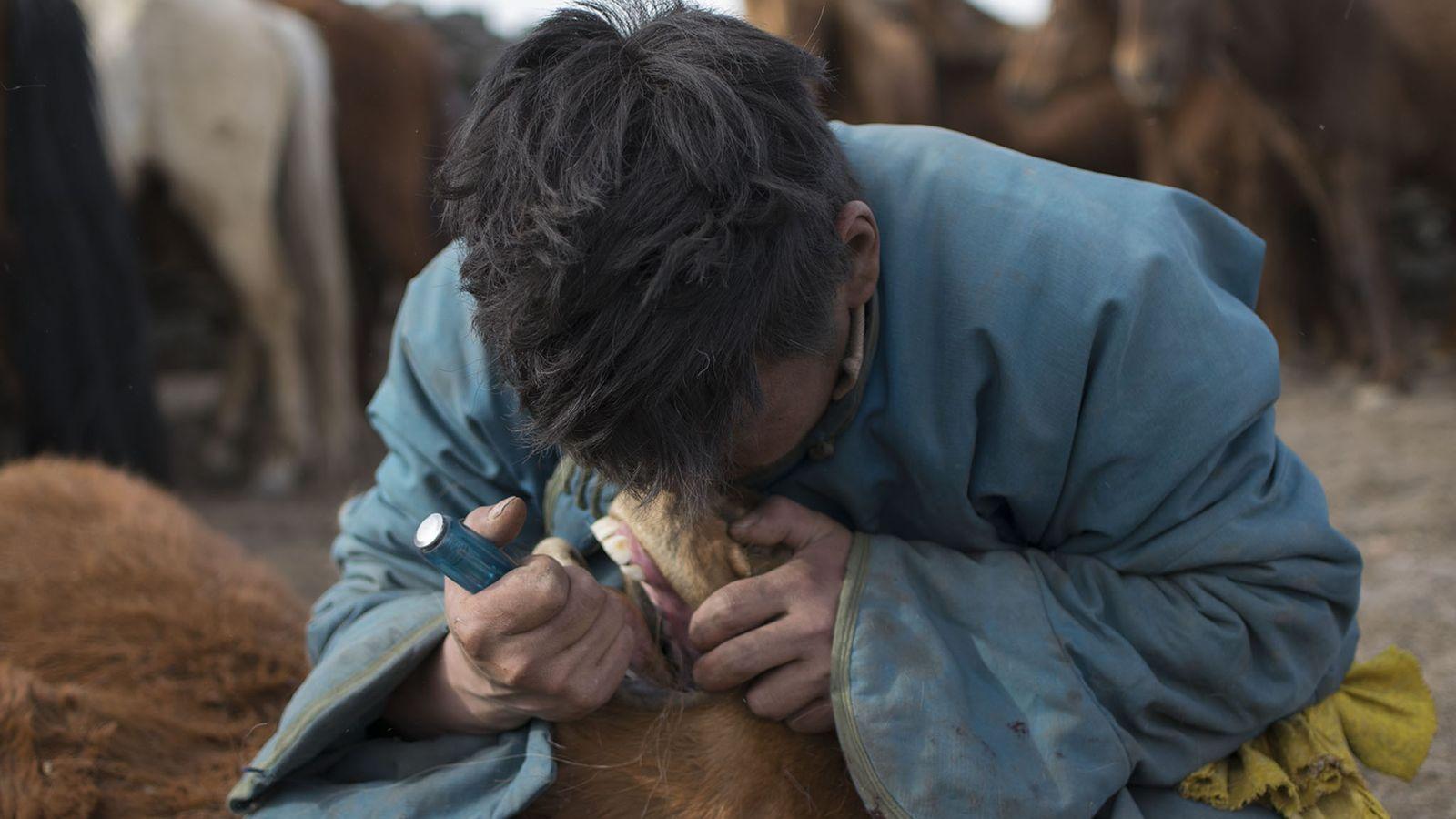Um pastor retira o primeiro pré-molar vestigial.