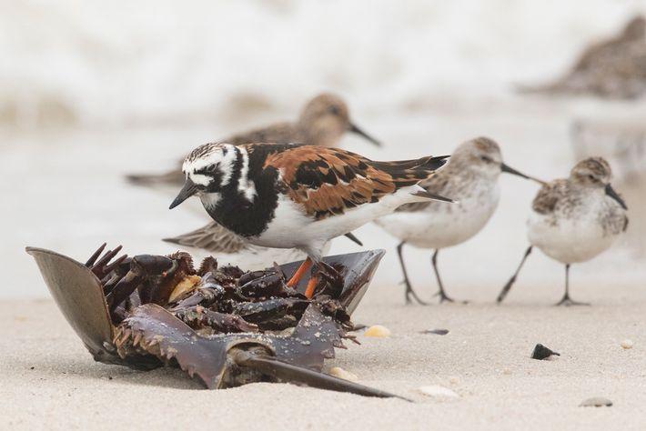 Uma rola-do-mar come um caranguejo-ferradura na Baía de Delaware, em Nova Jersey. Os caranguejos são fontes ...