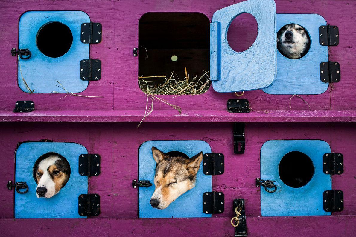 Cães condutores de trenós