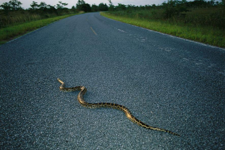 Uma pitão-birmanesa atravessa uma estrada na Florida. Estima-se que estas cobras, nativas do Sudeste Asiático, existam ...