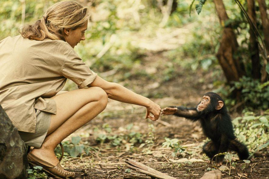Jovem chimpanzé chamado Flint a interagir com a etóloga Jane Goodall.