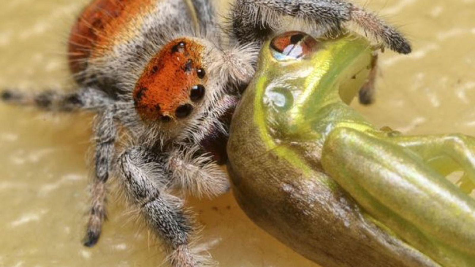 Aranhas minúsculas devoram lagartos três vezes maiores do que elas