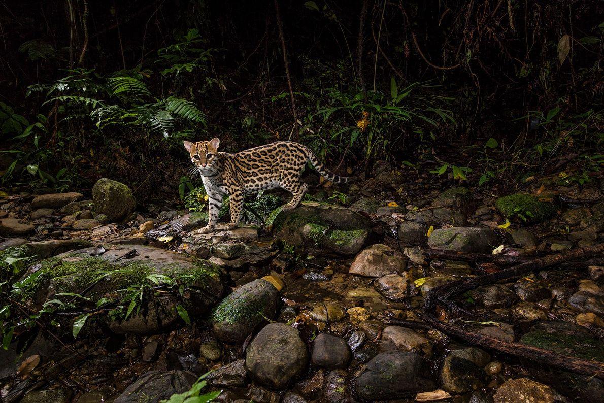 Uma câmara remota captou este ocelote a vaguear pelo Parque Nacional Manu, na Amazónia peruana. Apesar ...
