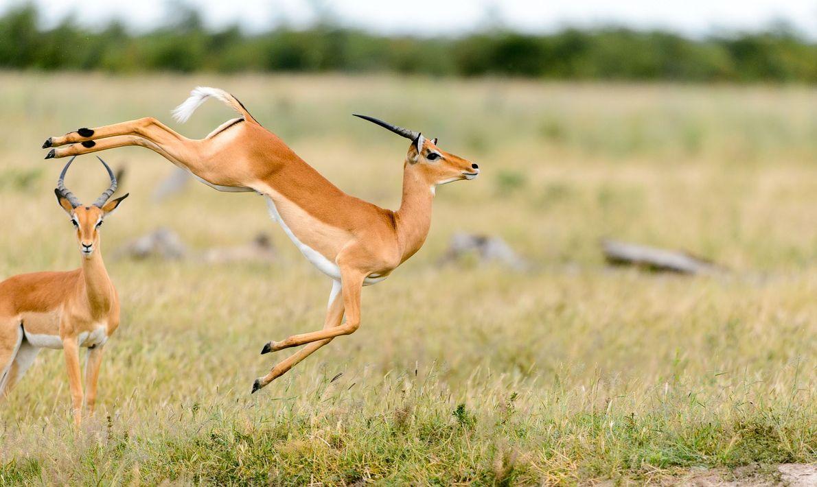 As impalas podem atingir os 3 metros de altura