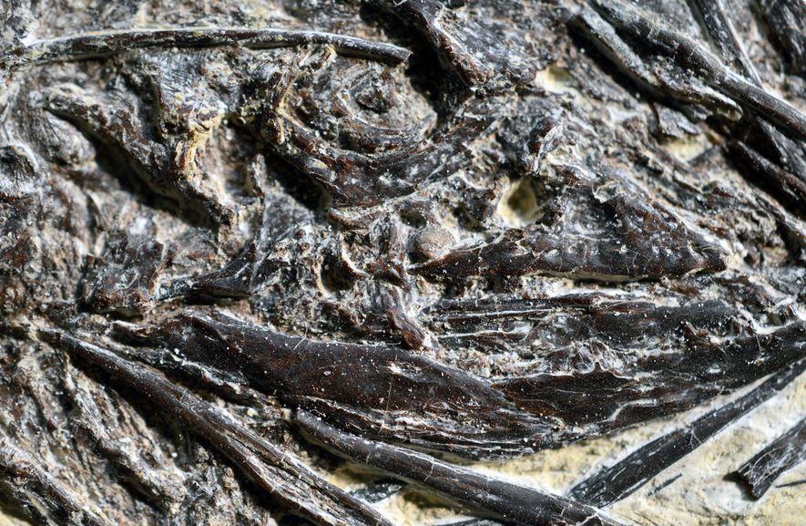 """O antigo lagarto """"Indrasaurus wangi"""", visto aqui num plano aproximado, tem o nome da divindade védica ..."""
