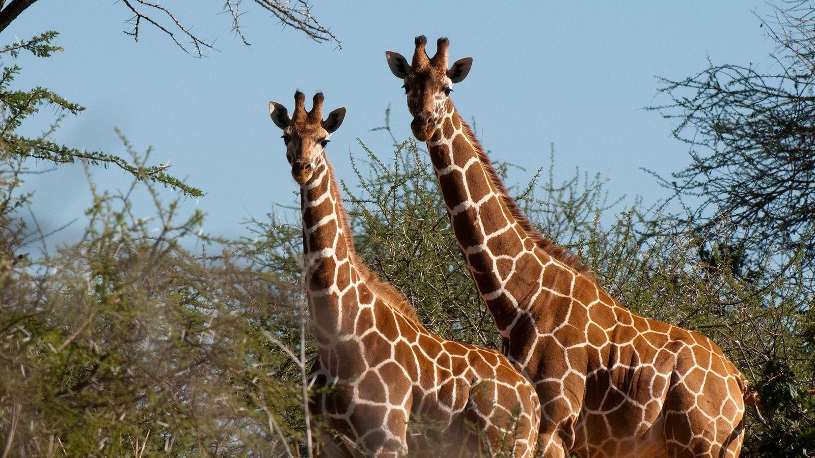 A capacidade que os computadores têm de identificar automaticamente girafas específicas a partir das diferenças nos ...