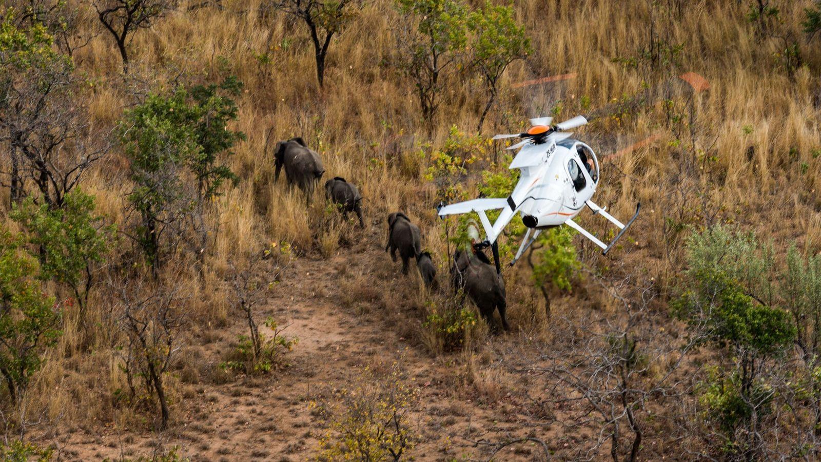 Os elefantes são atingidos por um dardo