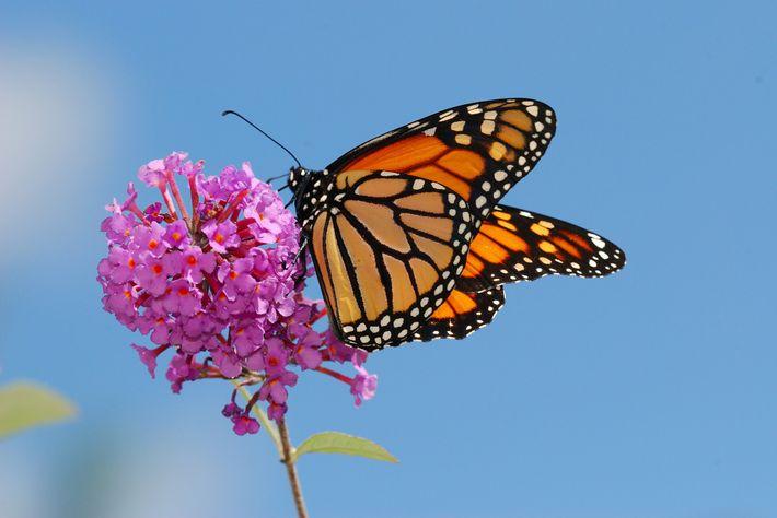Flores ricas em néctar são importantes para a sobrevivência continuada da borboleta-monarca.