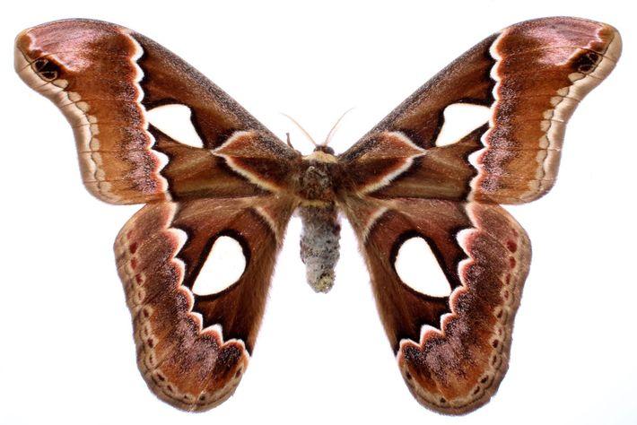 As asas compridas lobuladas, como as da Rothschildia erysina, são outra estratégia de defesa desenvolvida por ...