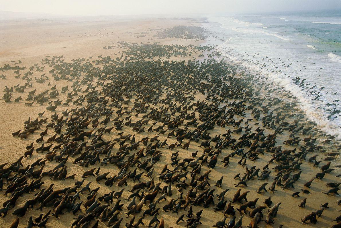 Uma colónia enorme de lobos-marinhos-do-cabo numa praia perto de Cape Fria, na Namíbia. Estes animais são ...