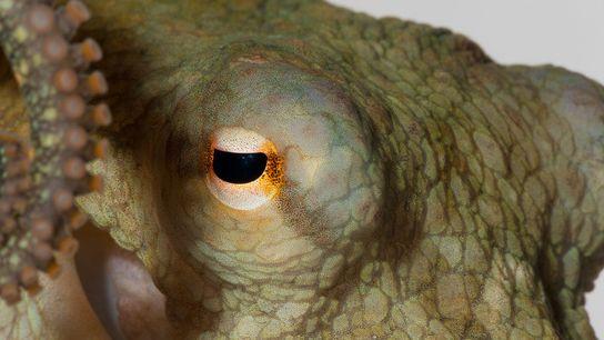 Na imagem, um polvo bimaculóide ou polvo-da-Califórnia, Octopus bimaculoides, semelhante àqueles que integraram a última experiência.