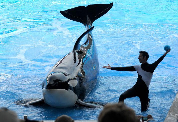 Uma orca chamada Kayla, no SeaWorld de Orlando, em 2011. Kayla morreu em janeiro de 2019, ...