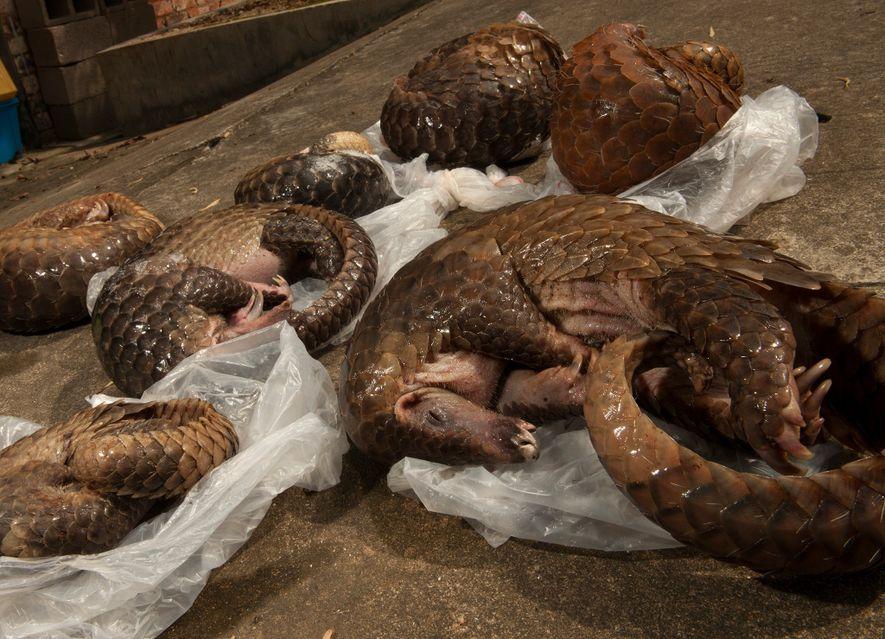 Estes seis pangolins-malaios foram apreendidos numa propriedade alugada em Guangzhou, na China. Os investigadores dizem que ...