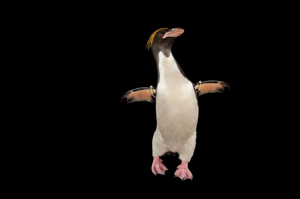 Pinguim-de-testa-amarela, ou pinguim-macaroni (Eudyptes chrysolophu)