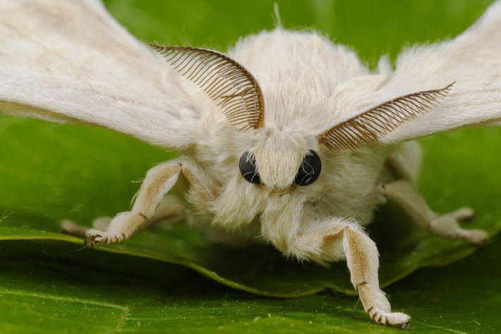 Os recetores nas antenas de uma traça macho de bicho-da-seda conseguem captar as feromonas da fêmea.