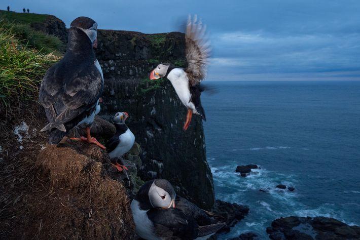 Os papagaios-do-mar (na fotografia), nome que se deve às suas cores e bico, são frequentemente confundidos ...
