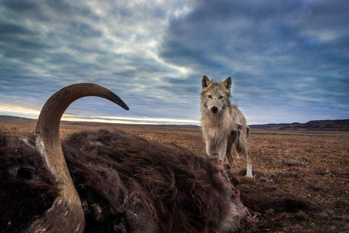Um lobo-do-ártico perante o corpo da sua presa principal, o boi-almiscarado. Este boi-almiscarado foi morto por ...