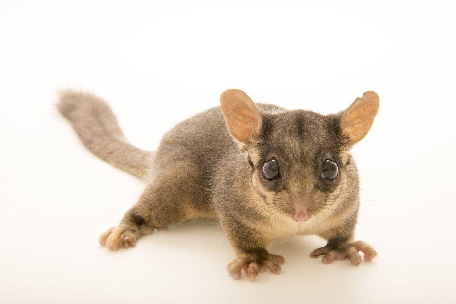 Opossum-de-Leadbeater
