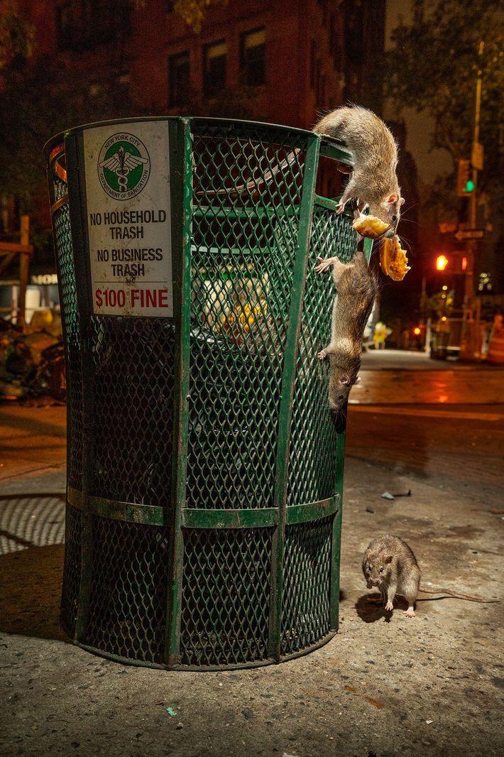 Ratos à procura de comida numa lata do lixo, na baixa de Manhattan, antes da pandemia ...