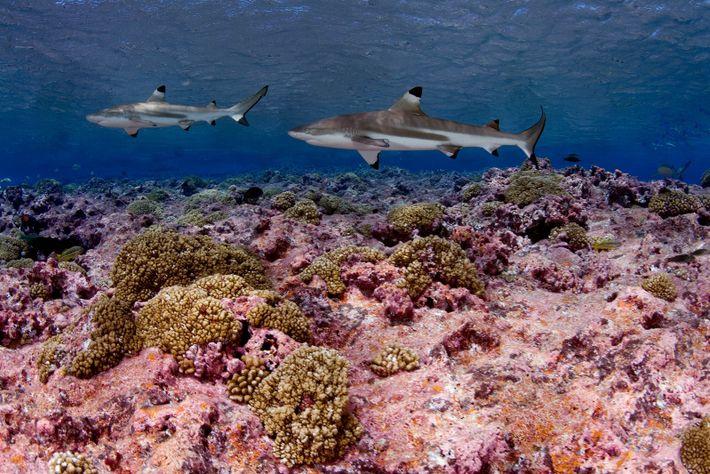 Tubarões-de-pontas-negras-do-recife perto de Quiribati, no Oceano Pacífico.