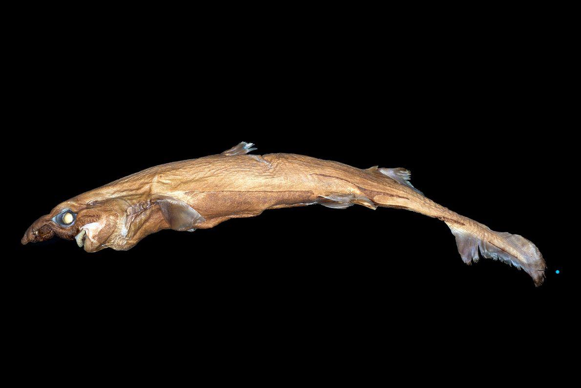 O Etmopterus lailae pertence à família dos tubarões-lanterna