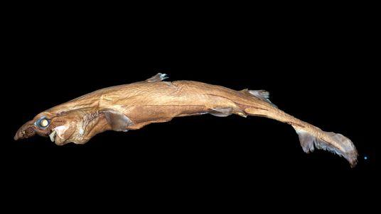 Fotografias de Nova Espécie de Tubarão que Brilha no Escuro