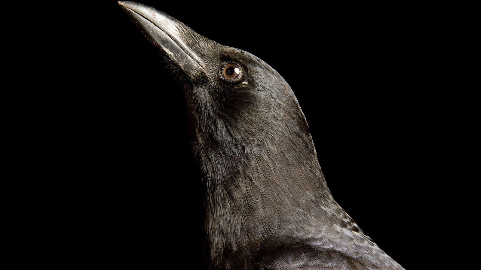 Corvo-americano, corvus brachyrhynchos