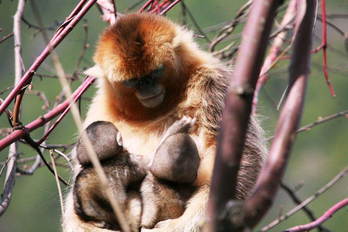 Investigadores tinham estado a estudar estes macacos na China, durante vários anos, até que reparam numa ...