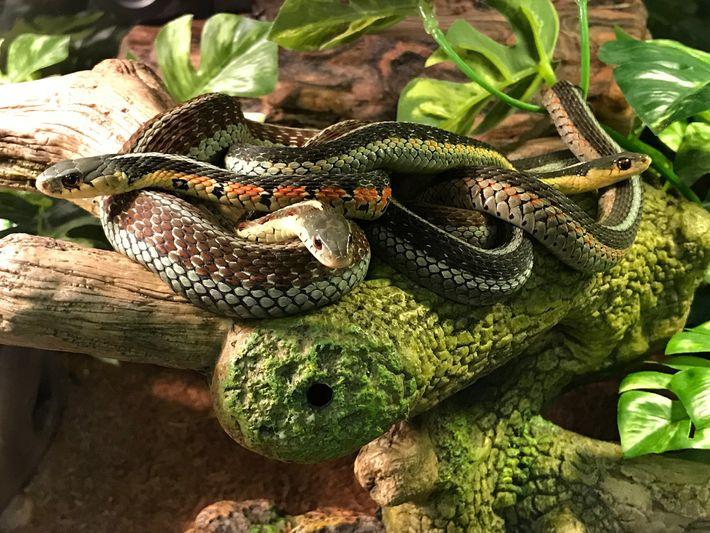 Cobras-liga orientais juntas, uma estratégia que usam para se manterem quentes e para se defenderem contra ...