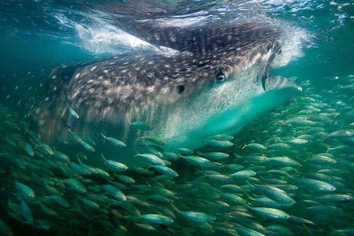 Os tubarões-baleia têm personalidades. Este era ousado e curioso, aproximava-se do barco sempre que chegávamos. Os ...