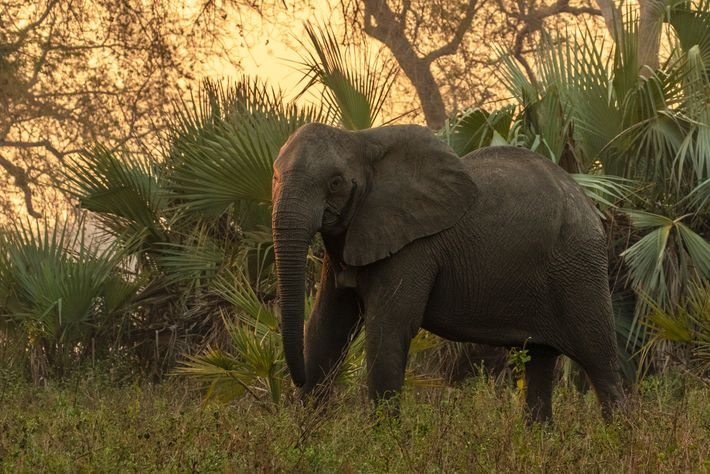 Uma fêmea sem presas, nas florestas do Parque Nacional de Gorongosa, a quem foi instalado um ...