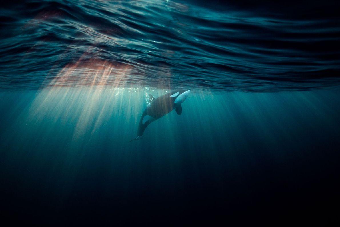Orca na Noruega